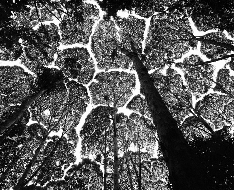MALAYSIA. Kepong Forest Reserve. Crown shyness in the 'kapur' tree (Dryobalanops aromatica), one of the dipterocarps that, as they mature in the forest, develop mutual avoidance. 1997