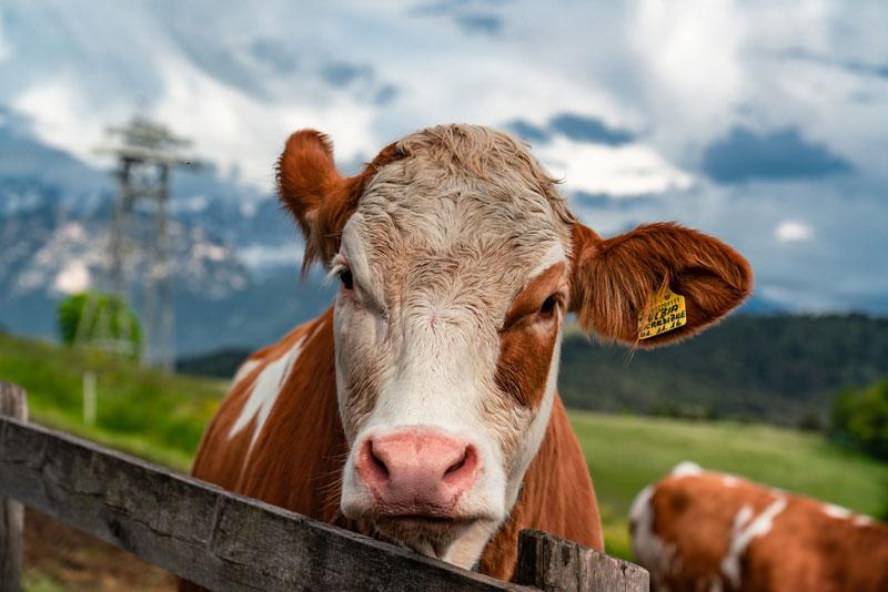 Корова 85 мм