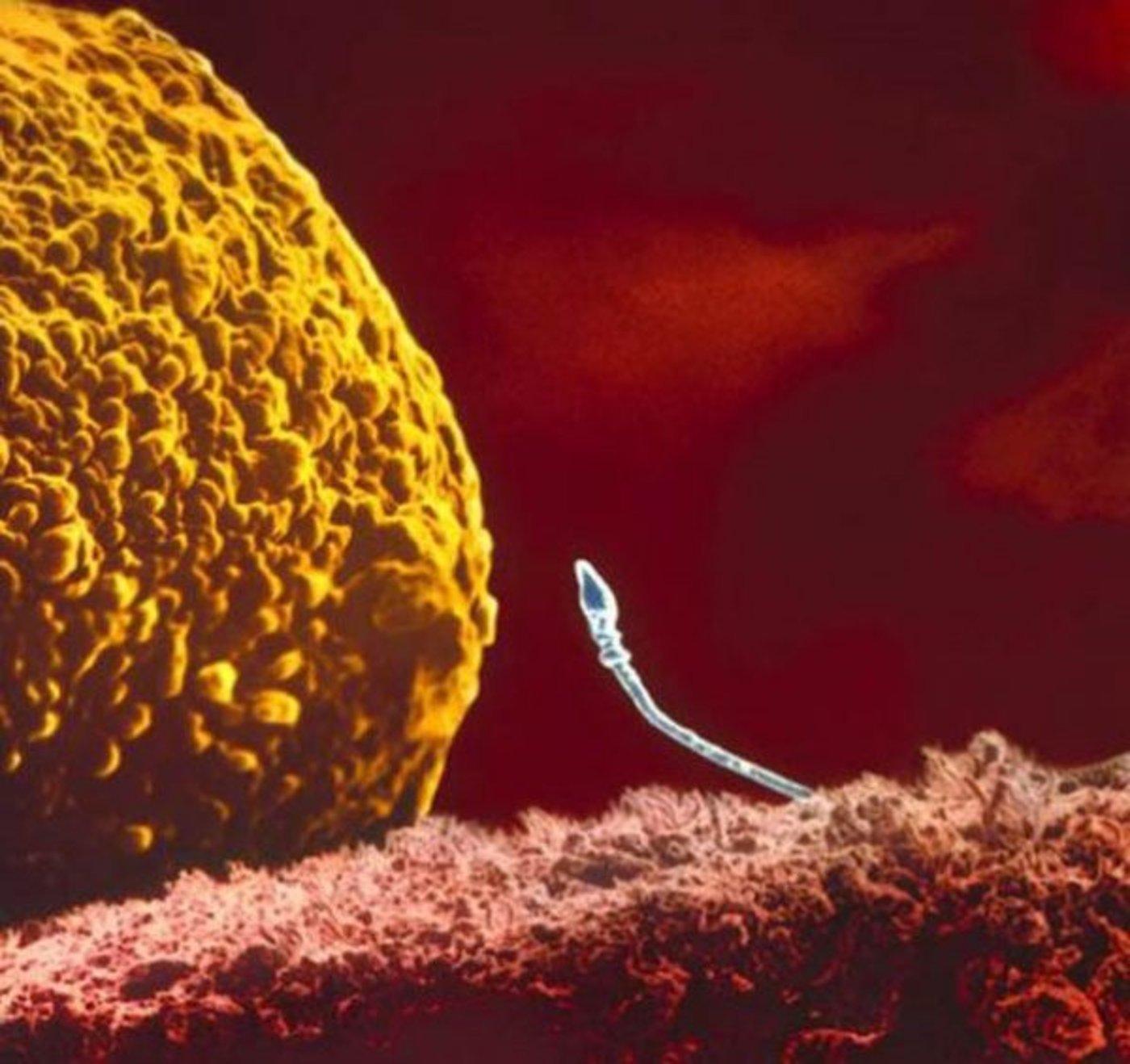 Зарождение жизни: знаменитая серия Леннарта Нильсона
